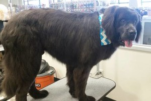 Photo #3: Sweetheart Special 30% Off Grooming! Two Dogs And Cat Pet Club