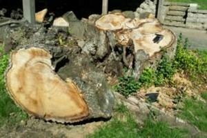 Photo #2: Tree Stump Grinding (have openings this week)