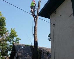 Photo #8: FREDY'S TREE SERVICES. FULLY INSURED! TREE TRIMMING AND REMOVAL