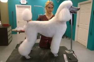 Photo #6: Dapper Dog Grooming. ALL BREED DOG GROOMING In-home and cage-free!