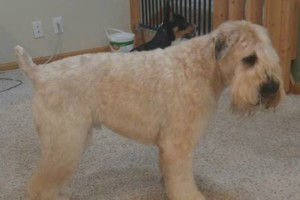 Photo #5: Dapper Dog Grooming. ALL BREED DOG GROOMING In-home and cage-free!