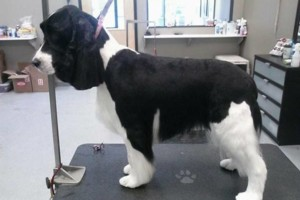 Photo #4: Dapper Dog Grooming. ALL BREED DOG GROOMING In-home and cage-free!