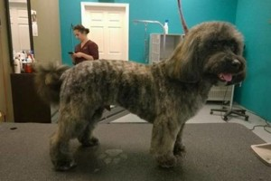 Photo #2: Dapper Dog Grooming. ALL BREED DOG GROOMING In-home and cage-free!