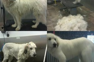 Photo #1: Dapper Dog Grooming. ALL BREED DOG GROOMING In-home and cage-free!