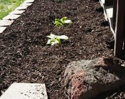 Photo #1: Anthony landscaping! Special on mulching in April!