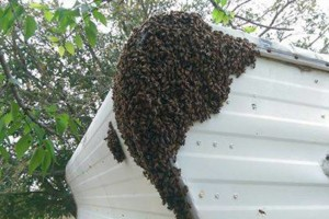 Photo #1: Honey Bee / Swarm Removal FREE