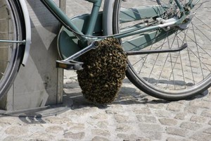 Photo #3: Honeybees Swarming around your Place