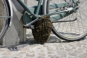 Photo #3: Honeybees Swarming around your Place