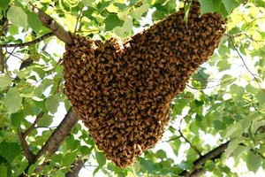 Photo #1: Honeybees Swarming around your Place