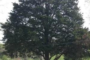 Photo #1: Lexington Cody's Tree service