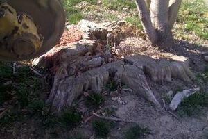 Photo #7: Reinstorf's Stump Grinding Service
