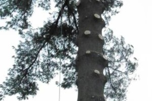 Photo #8: CHEAP!!! TREE REMOVAL SERVICE by certified arborist!
