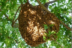 Photo #1: Free honey bee swarm removal, prompt service!