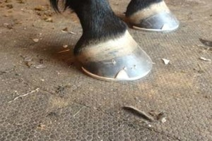 Photo #12: Farrier Service. Savage Shoes & Trims by Joelle Savage, APF