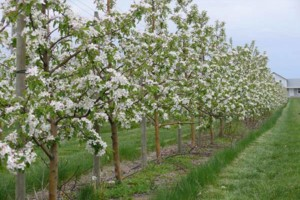 Photo #1: Professional Fruit tree Pruning & Spraying