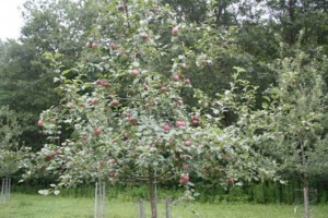 Photo #3: Professional Fruit tree Pruning & Spraying