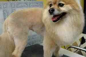 Photo #1: Shear Pawfection Home Grooming - Dog/Cat