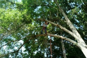 Photo #4: TREE TRIMMING. While climbing