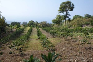 Photo #13: LAMM'S AGRICULTURAL BULLDOZING - LAND CLEARING AND ORCHARD