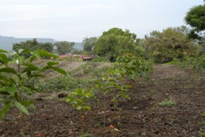 Photo #12: LAMM'S AGRICULTURAL BULLDOZING - LAND CLEARING AND ORCHARD