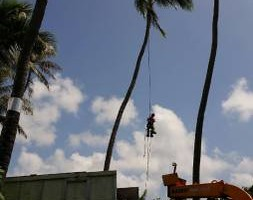 Photo #1: Tree trimming by Free lance Tree climber