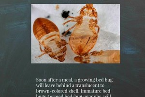 Photo #2: Bedbugs are eradicated. Call Shield Termite & Pest Control