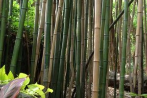 Photo #2: PROFESSIONAL BAMBOO REMOVAL