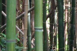 Photo #1: PROFESSIONAL BAMBOO REMOVAL