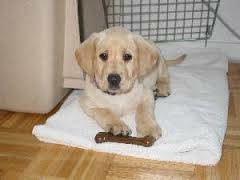 Photo #7: Home Dog Training at the comfort of your Home !
