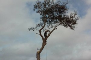 Photo #4: Big Trees? No Problem! BUCKET TRUCK! Hayes Tree Service