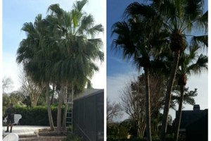 Photo #12: TREE TRIMMING. ASAP-NO HASSLE/FLAT RATE TREE WORK !