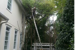 Photo #5: TREE TRIMMING. ASAP-NO HASSLE/FLAT RATE TREE WORK !