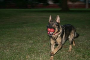 Photo #5: NEXUSHAUS K-9 SERVICES - DOG TRAINING/ DOG BOARDING