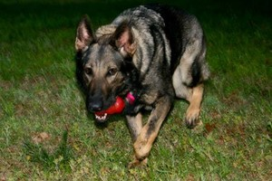 Photo #6: NEXUSHAUS K-9 SERVICES - DOG TRAINING/ DOG BOARDING