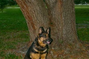 Photo #7: NEXUSHAUS K-9 SERVICES - DOG TRAINING/ DOG BOARDING
