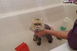 Photo #7: House Call Cat Groomer - Ruff2Ritz Grooming