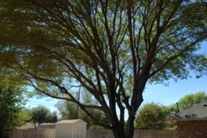 Photo #2: Chuy's Tree Service