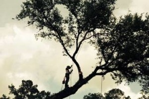 Photo #6: Arborist Aspects LLC (Tree Service)