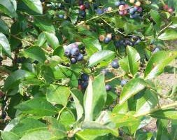 Photo #2: BLUEBERRIES - $4.00 Qt.