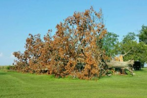 Photo #23: HODGES TREE TRIMMING (WE SPECIALIZE IN DANGEROUS TREE REMOVAL)