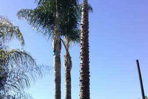 Photo #6: Sanchez tree services and clean ups