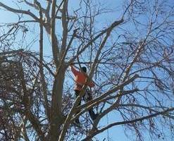 Photo #8: Professional Coronado tree service