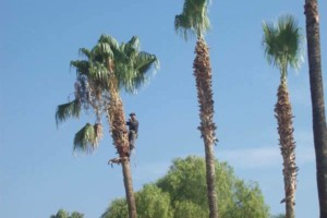 Photo #3: Professional Coronado tree service