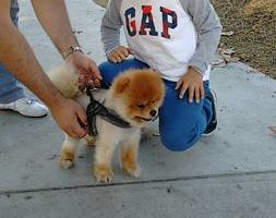 Photo #19: OC K-9 Services. Puppy Training, Human Trainingю 50%Discount!!