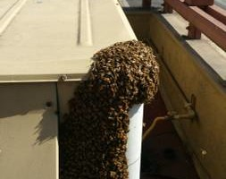 Photo #4: Bee Removal Expert of Orange County