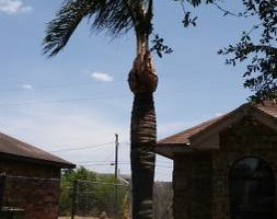 Photo #1: Palms & trees trim, remove... 15 yrs of experience