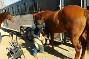 Photo #1: Farrier / Horseshoeing. Trim $30