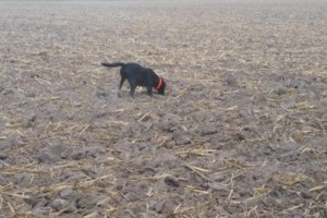 Photo #2: Bird dog training/obedience training