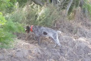 Photo #1: Bird dog training/obedience training