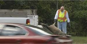 Photo #1: DEAD DEER REMOVAL SAME DAY RESPONSE